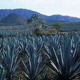 Mexikanische Agaven