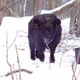 Galloways im Winter