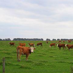 Das Herzstück: die Rinderherde