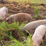 Landschweine in Aktion
