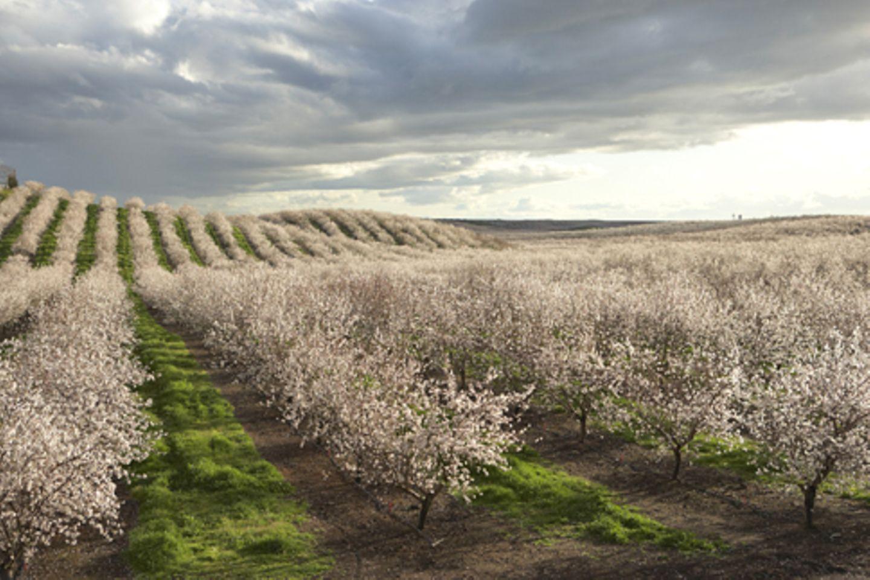 Mandelblüte in Kalifornien