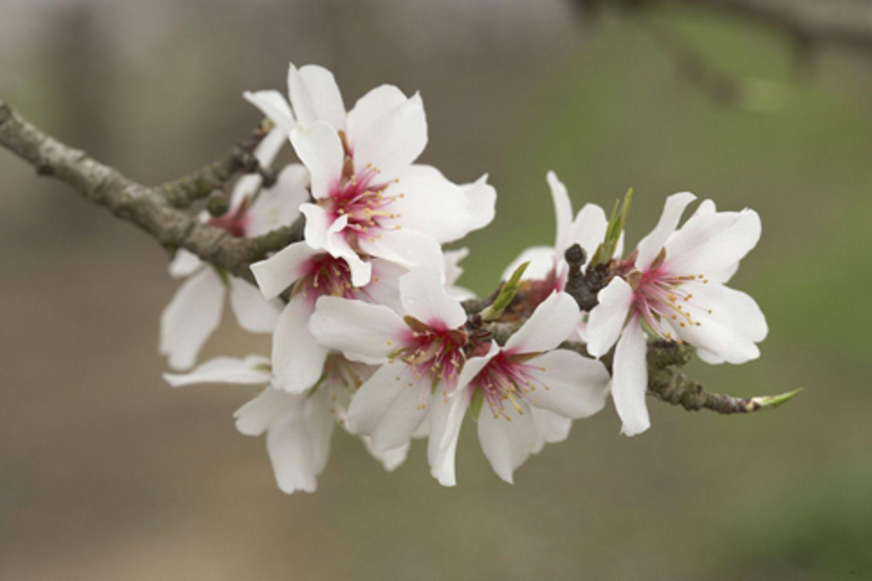 Zarte Mandelblüten