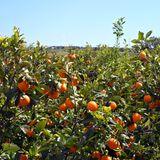 Orangen-Paradies