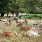 Königliche Gärten: Rehe im Richmond Park