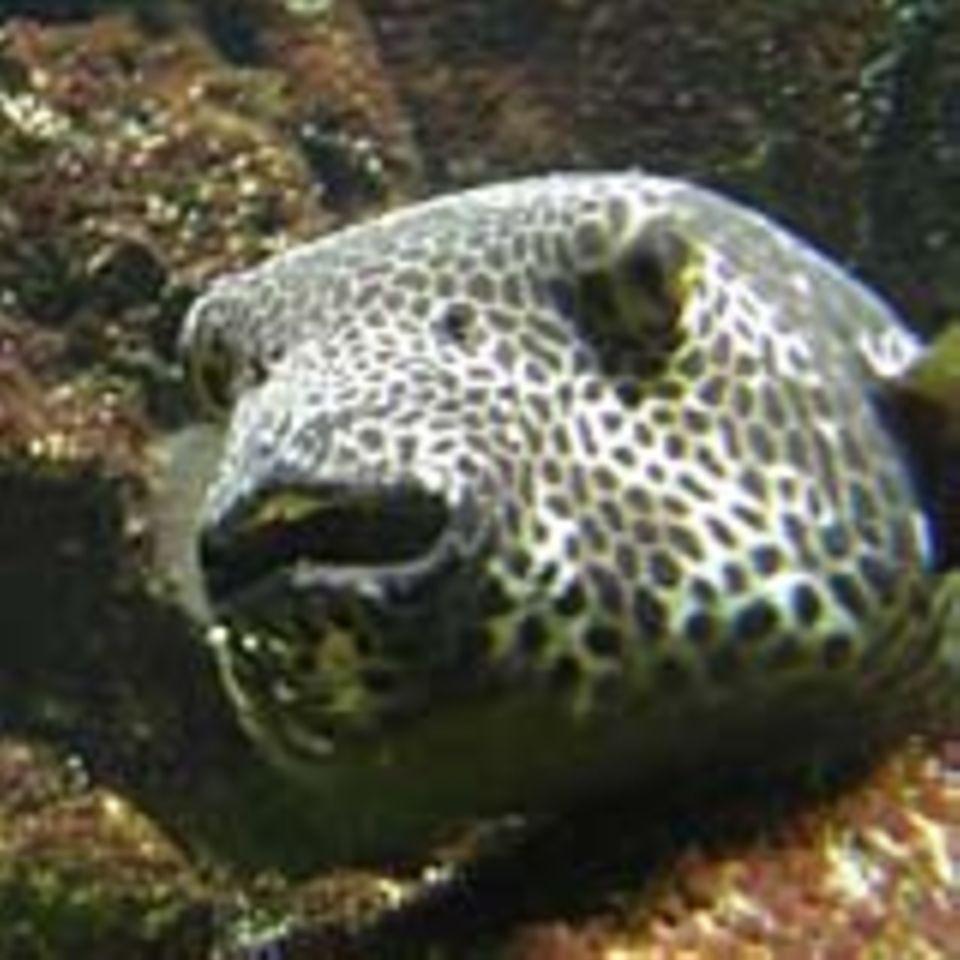 Der japanische Kugelfisch Fugu ist eine beliebte Delikatesse