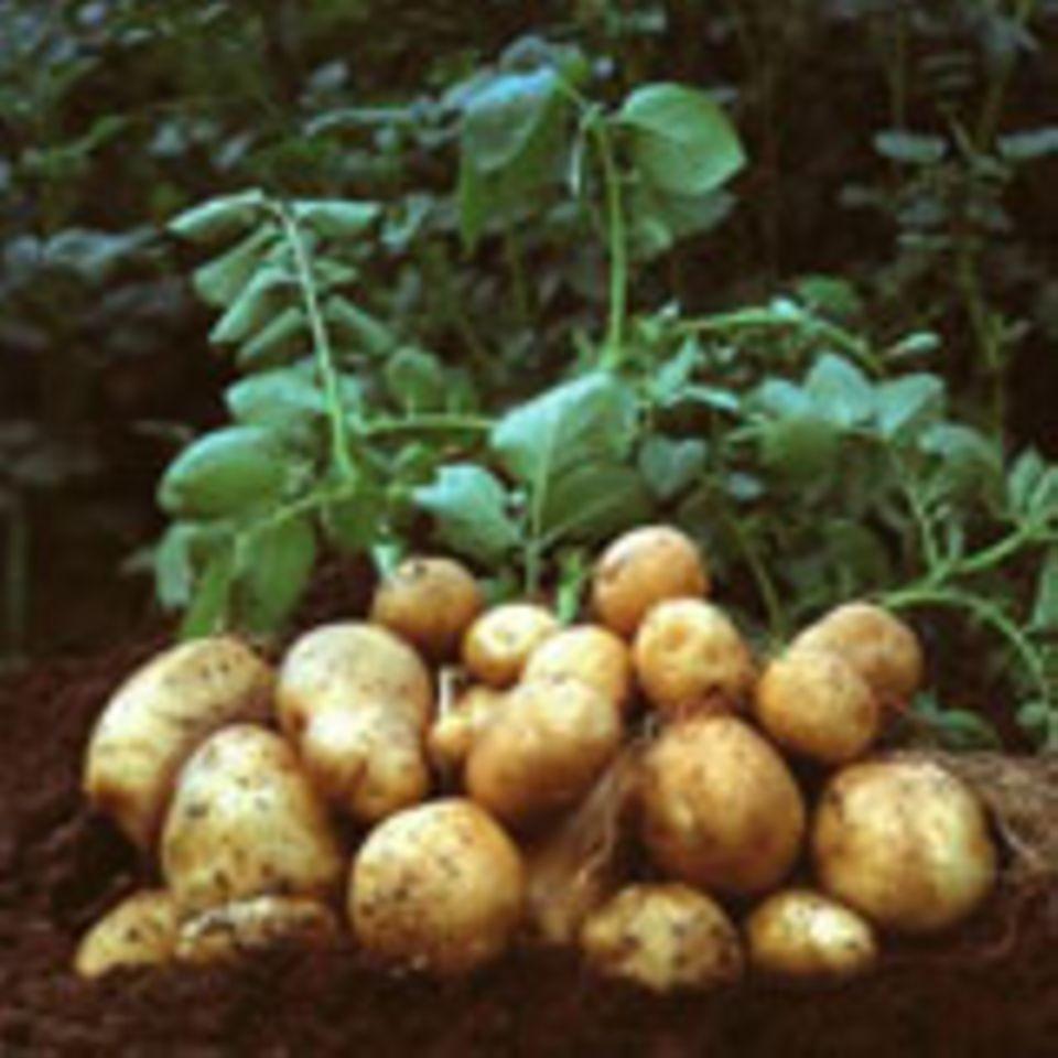Kartoffeln der Sorte Amflora