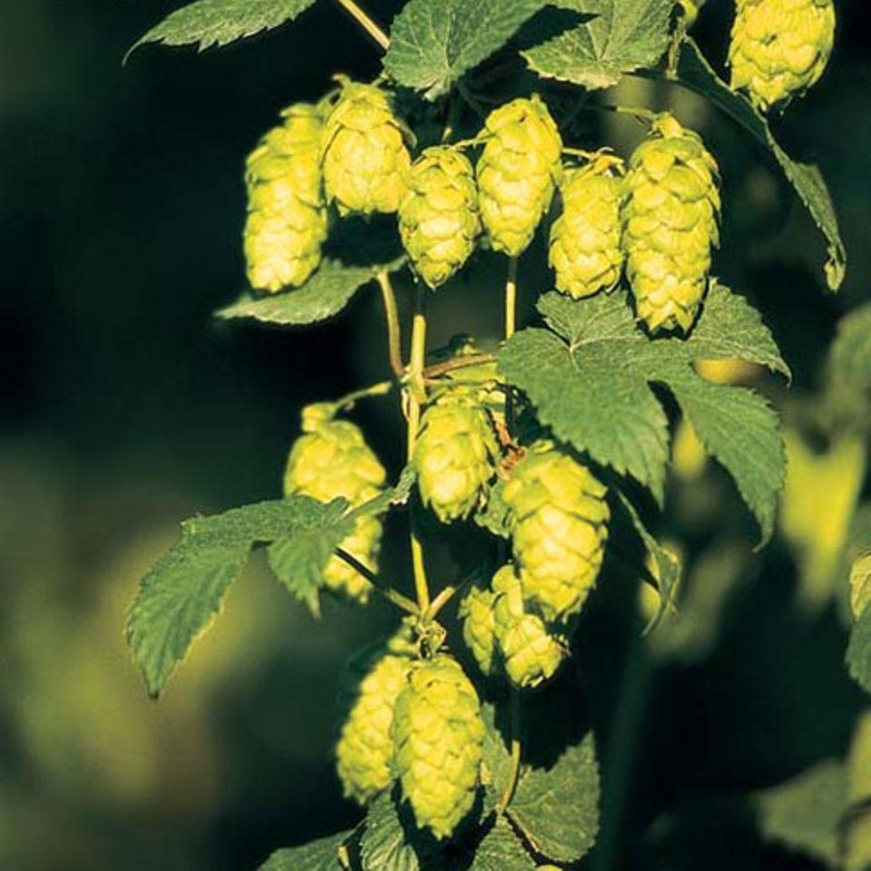 Hopfen: ein wichtiger Bierbestandteil