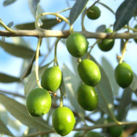 Oliven direkt vom Baum sind ungenießbar