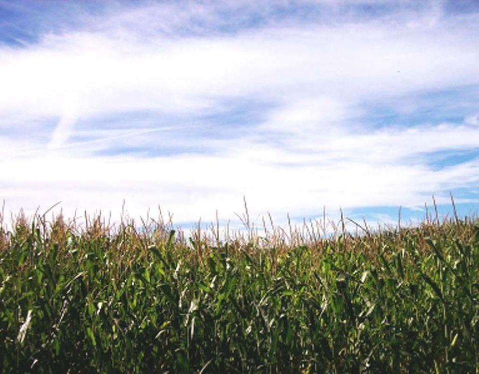 Natur pur im Maislabyrinth