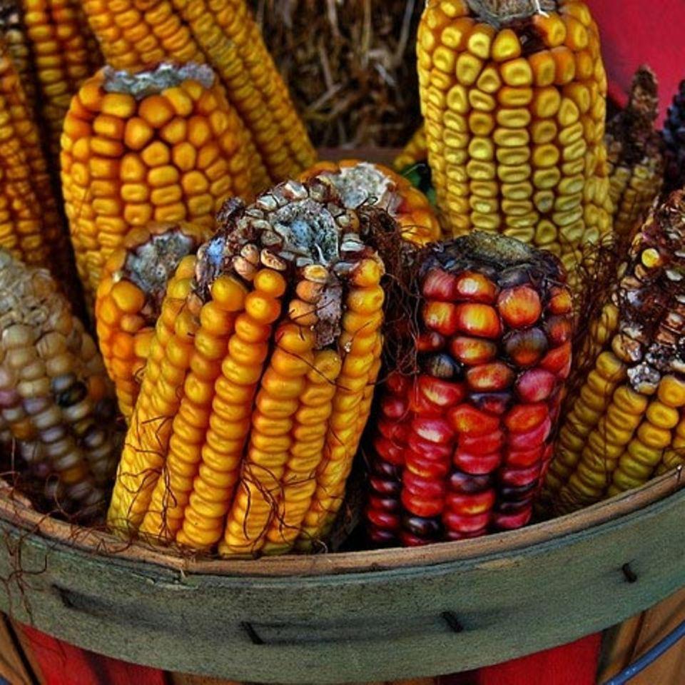 Mais: die verschiedenen Sorten