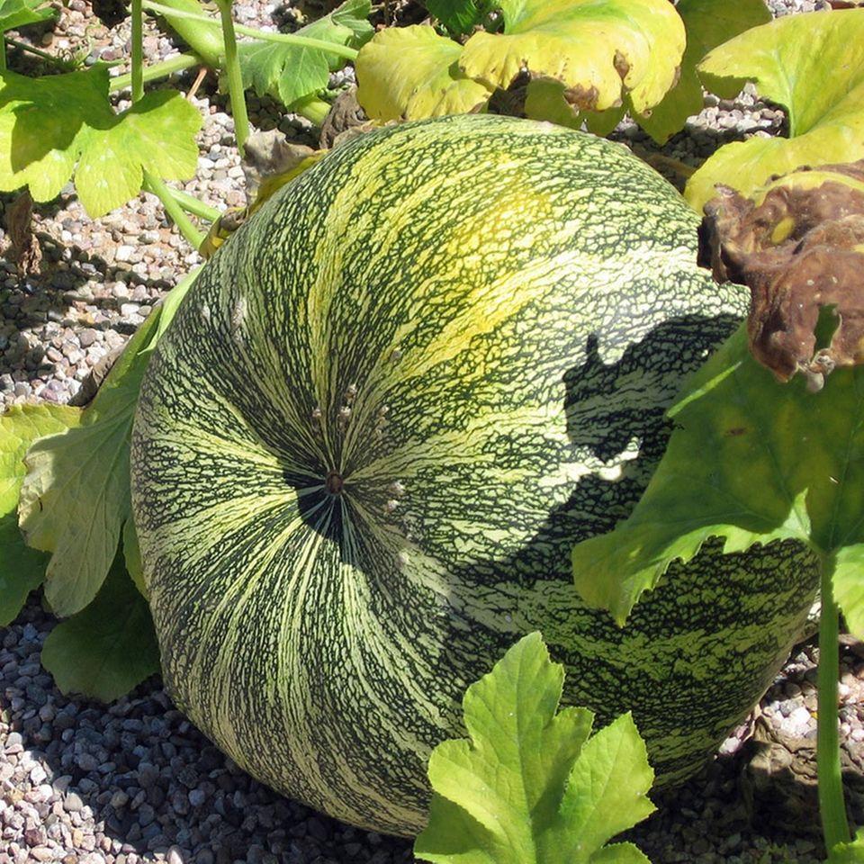Grün-weißer Feigenblattkürbis ähnelt einer Wassermelone