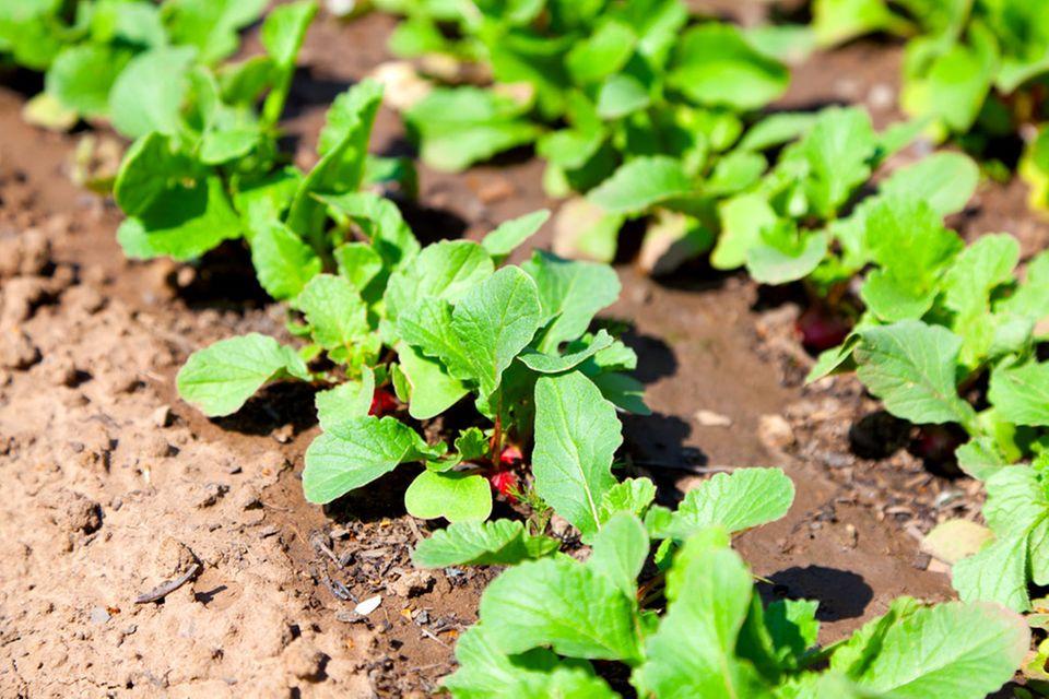 Junge Radieschen-Pflanzen im Gemüsebeet