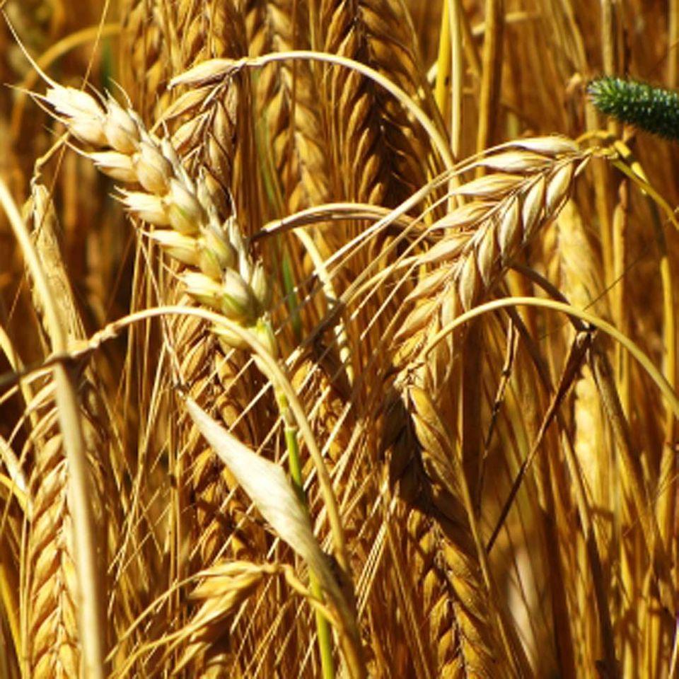 Spätsommer: volles Korn