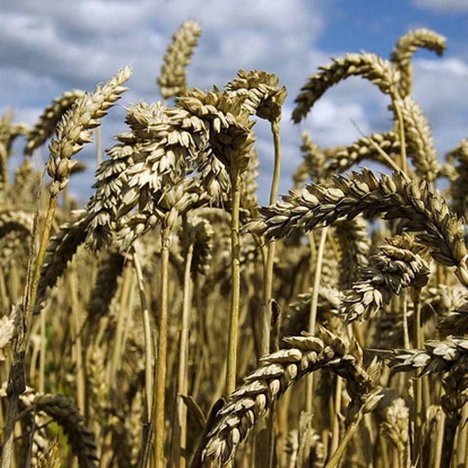 Weizen enthält Gluten und sollte daher gemieden werden