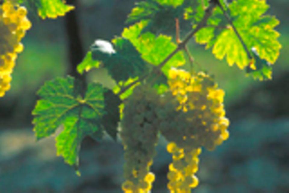 Kulinarisches für Weingenießer: Vielfältig: die wichtigsten Weinsorten und Anbaugebiete