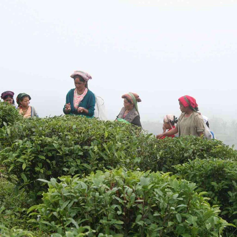 Teepflückerinnen in Samabeong in Indien, GEPA-Handelspartner