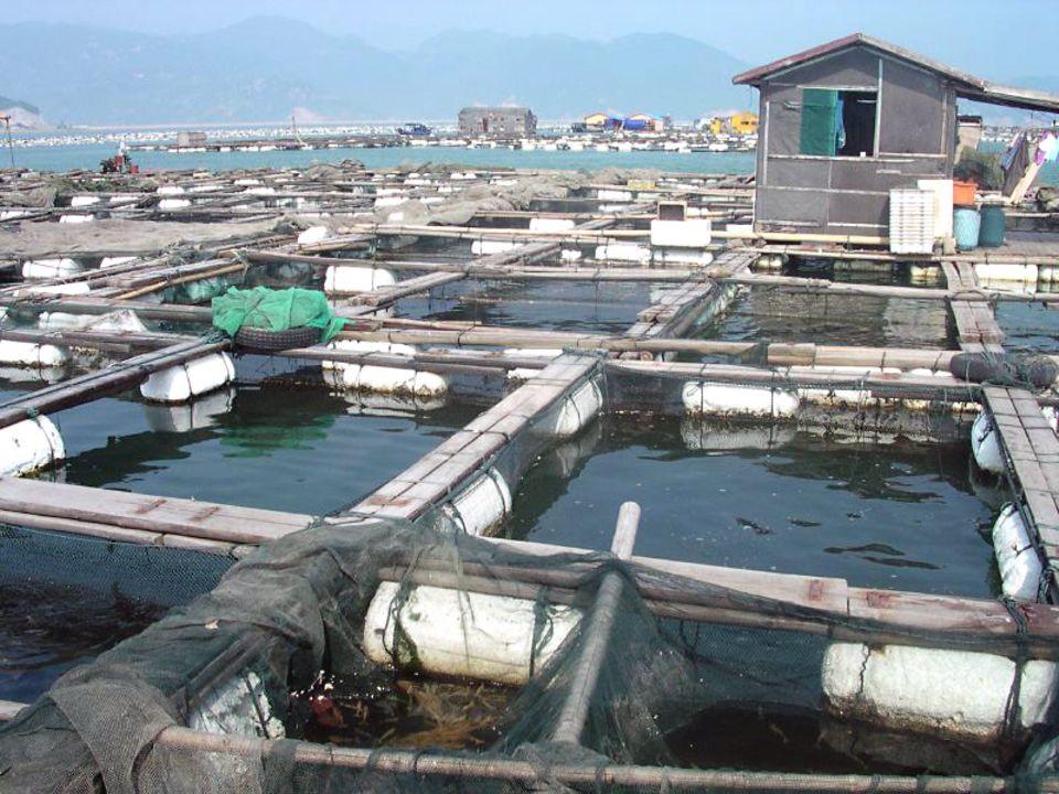Da das Meer vor Fujian stark überfischt ist, werden viele Fische in Fischzuchten gezüchtet