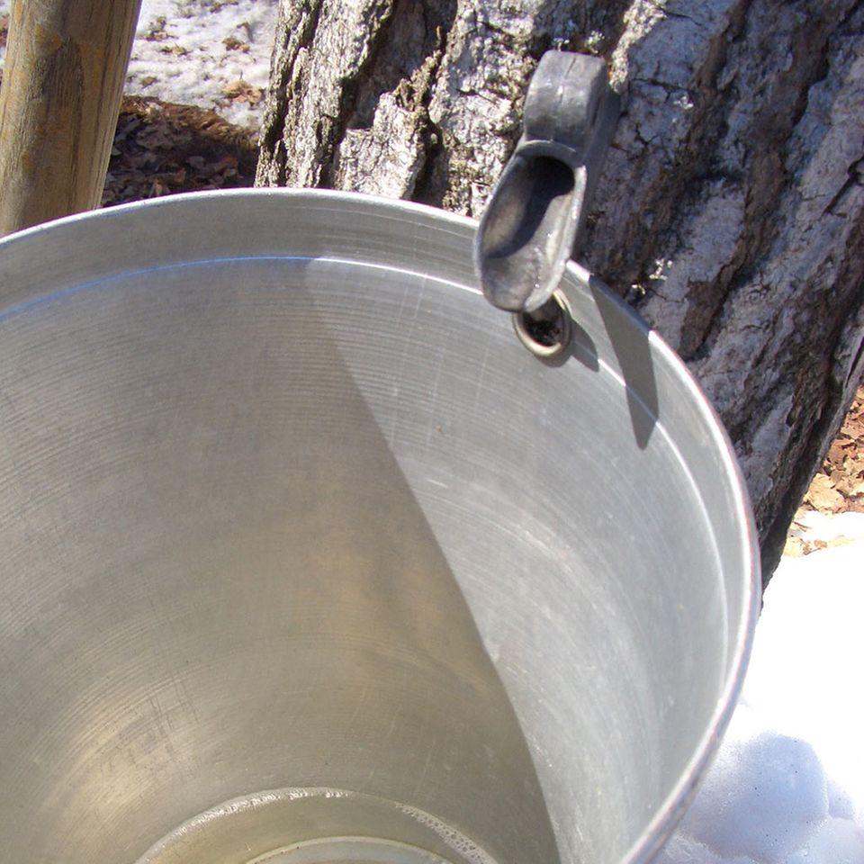 Der Sirup wird direkt aus den Ahornbäumen gezapft