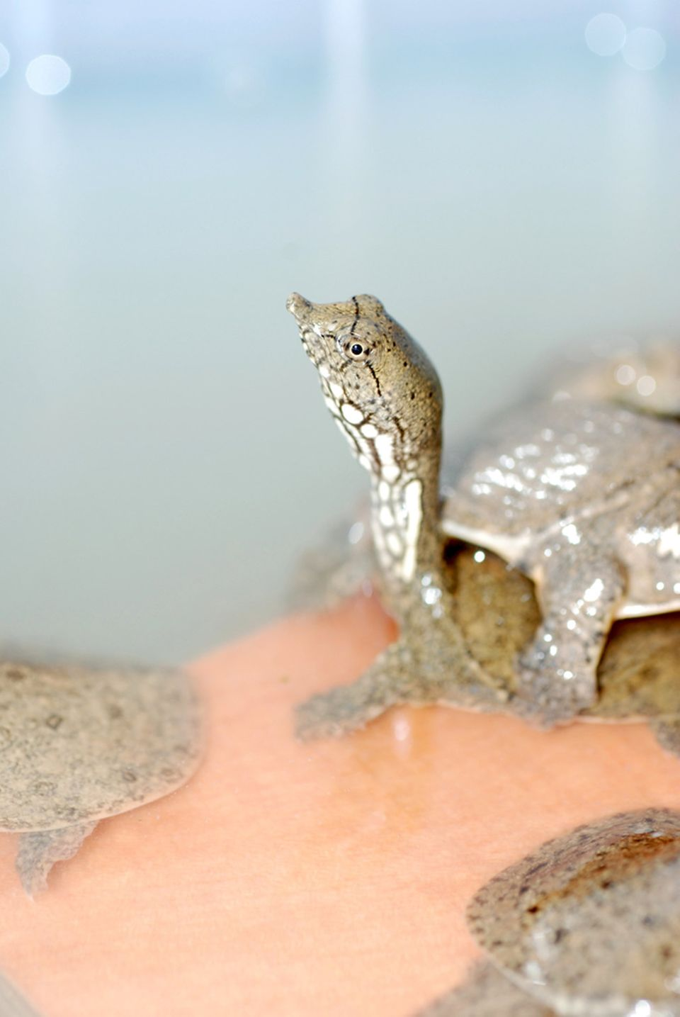 Weichschildkröten sind beliebte Zutaten der Anhui-Küche