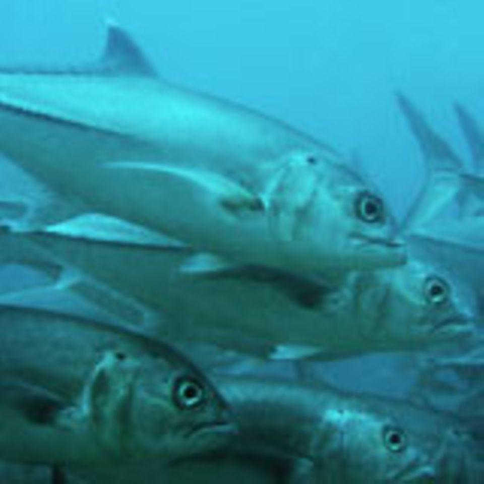 Die Thunfisch-Bestände schrumpfen.