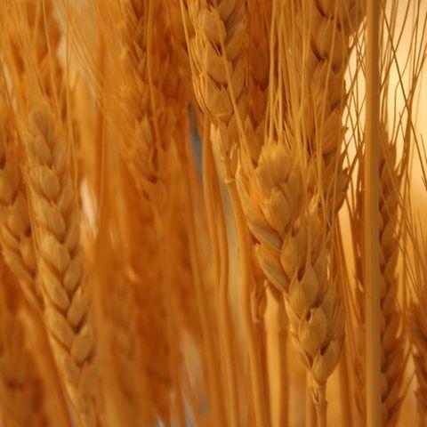 Weizen: Rezepte und Informationen