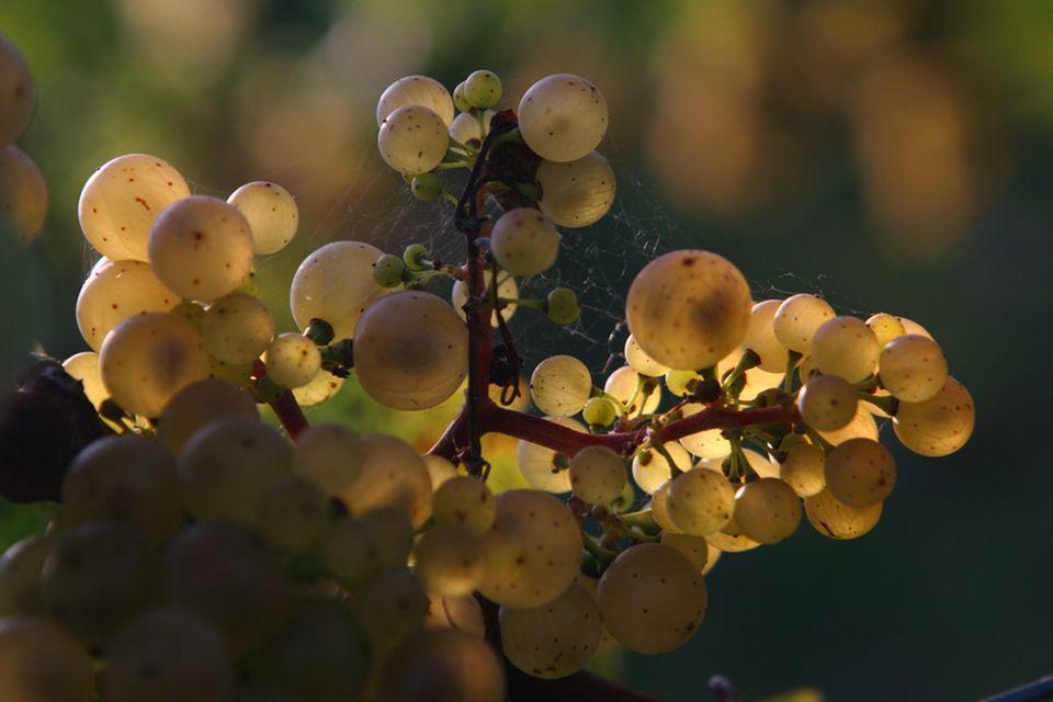 """So genannte """"verrieselte"""" Trauben mit vielen kernlosen Beeren ergeben hohe Qualitäten"""