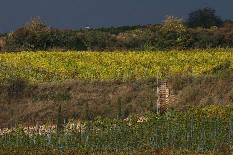 Die herbstlichen Weinberge in der Parzelle Abtserde des Weinguts Keller