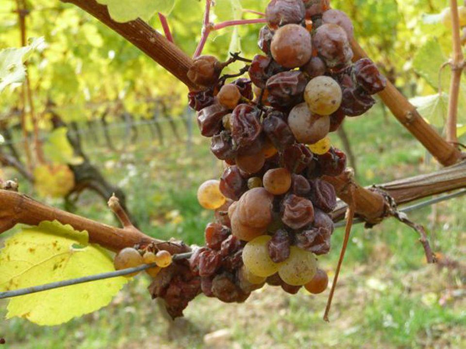 Eingetrocknete Beeren des Jahrgangs 2009