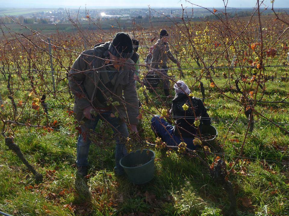 Weinlese in den Weinbergen des Weinguts Keller