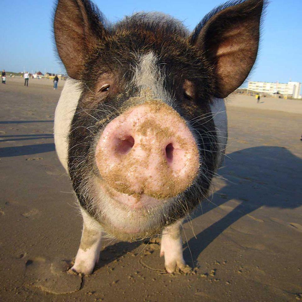 Divine Pig und Ehrfurcht vor dem Leben