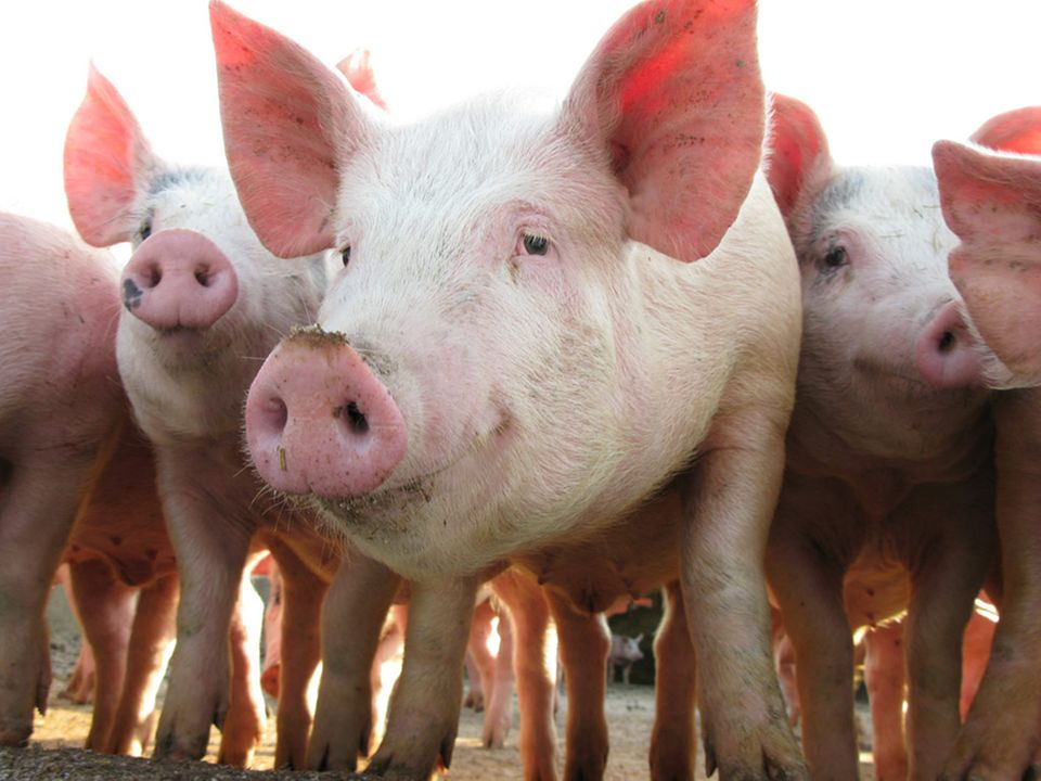 Schweine werden in Deutschland am häufigsten geschlachtet