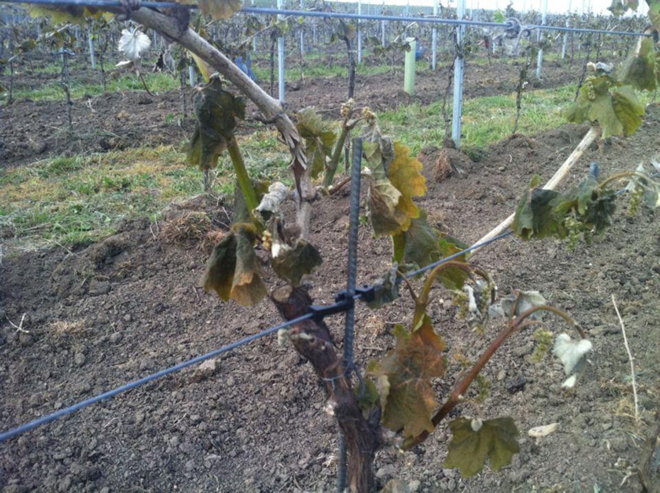 Viele deutsche Weinregionen wurden hart vom Frost getroffen