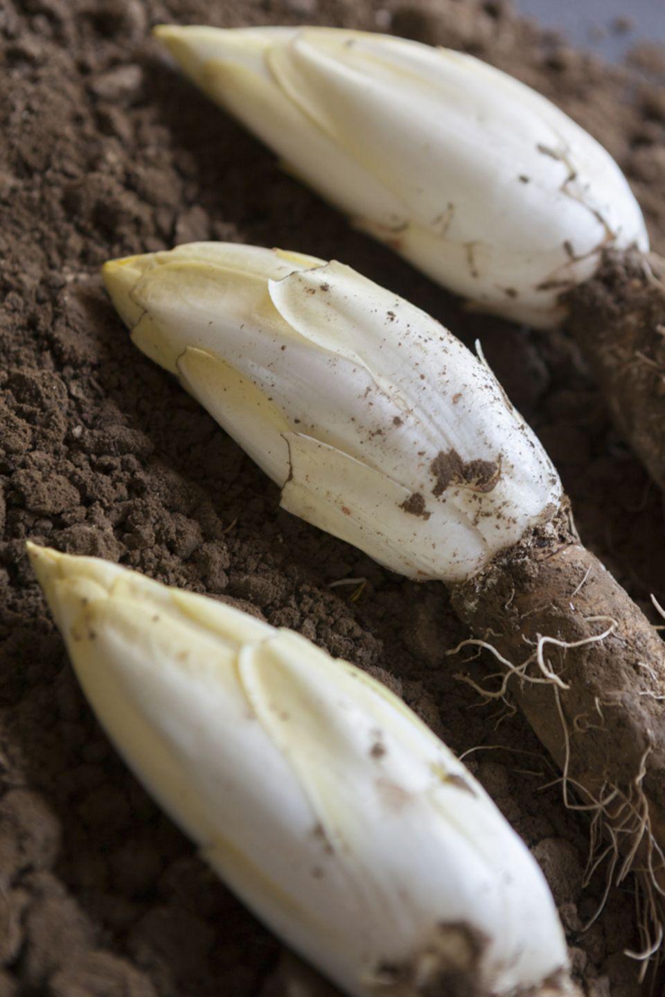 Der Chicorée wächst als Blattknospe auf der Zichorienwurzel