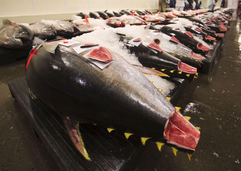 Begehrt & teuer: frischer Tunfisch