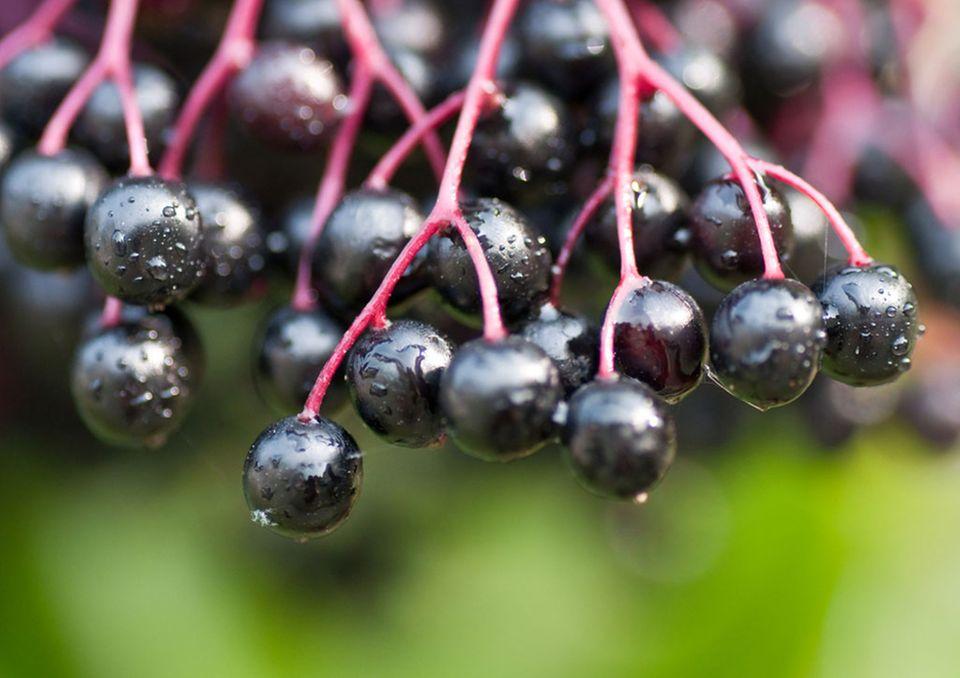 Holunderbeeren wachsen in Dolden an einem Wildstrauch und haben eine schwarzviolette Farbe