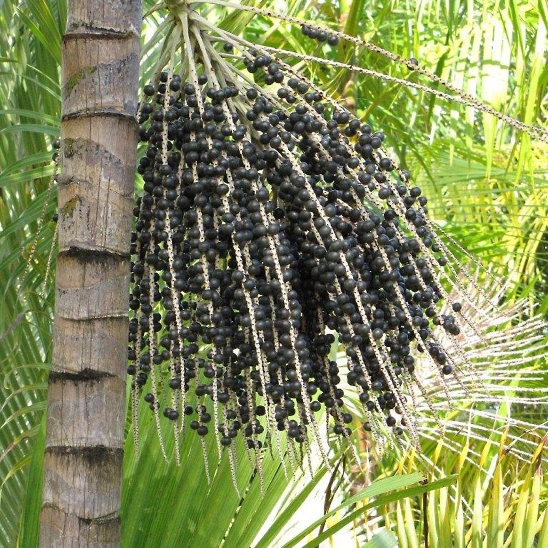 Die Acai-Beeren wachsen an Palmen