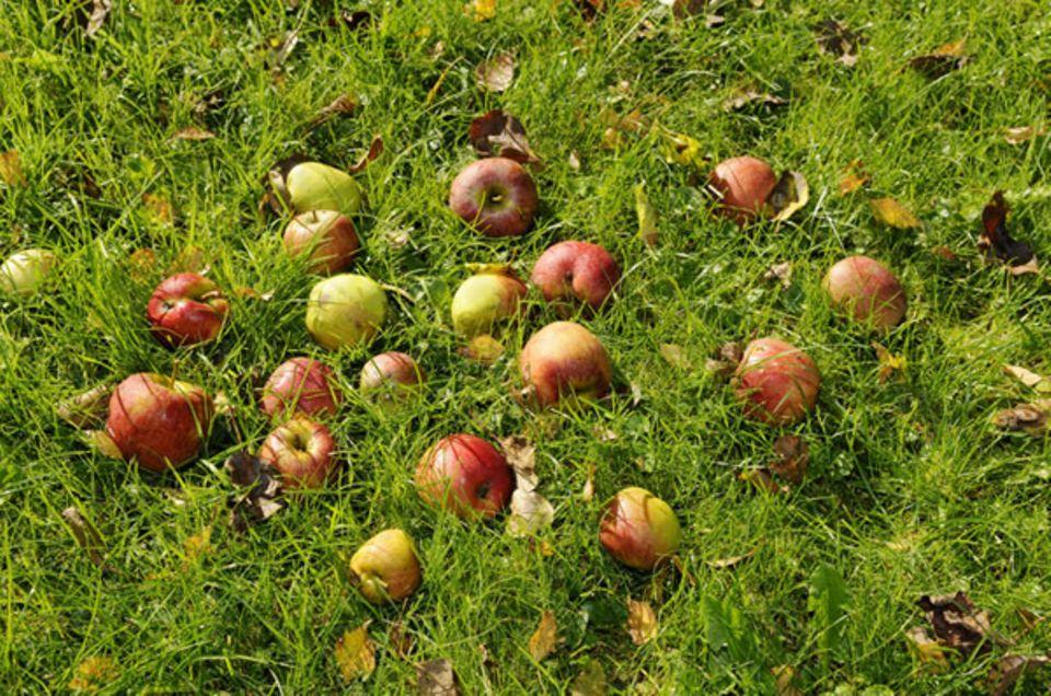 Das meiste Obst für die Herstellung von Obstbrand kommt von Streuobstwiesen