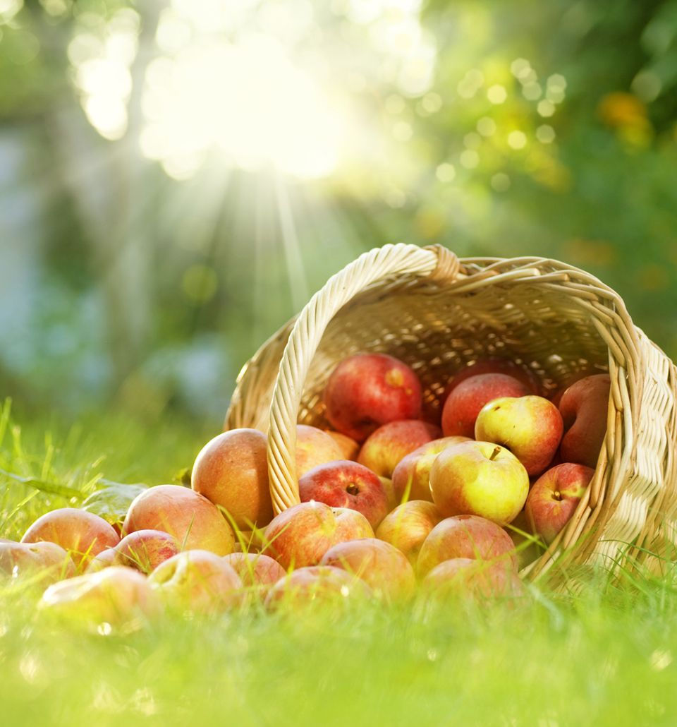 Frisch geerntet schmecken Äpfel einfach wunderbar