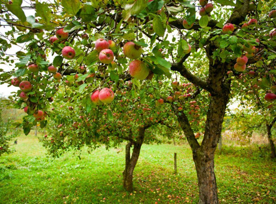 Äpfel zum Pflücken und Sammeln
