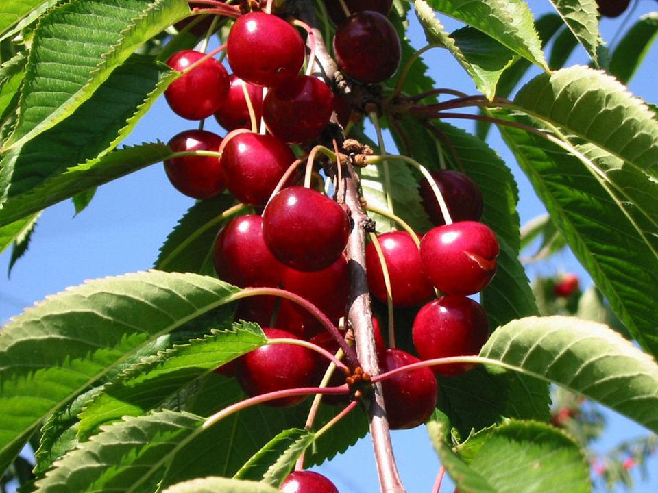 Auf einigen Obsthöfen im Alten Land kann man Kirschen selber pflücken