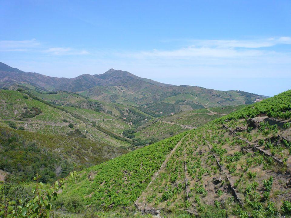 Weinberge im Languedoc