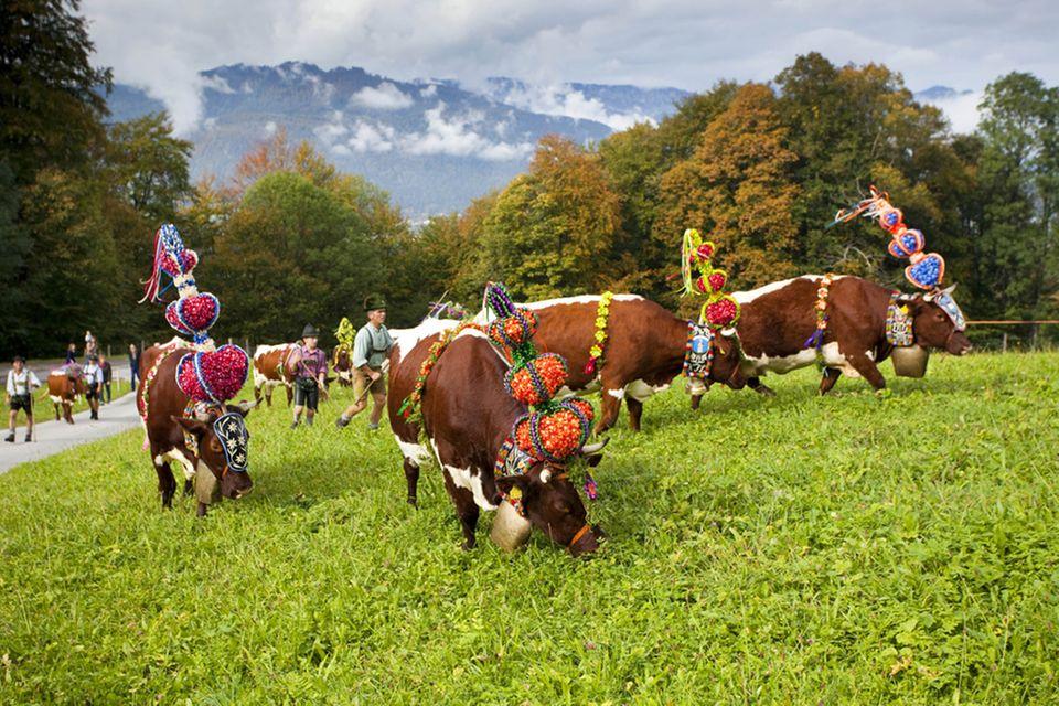 Der Bergsommer verlief gut und die Kühe sind festlich geschmückt