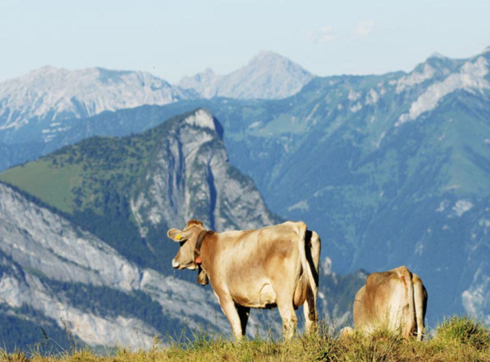 Frische Luft, Kräuter und Gras: Tiere auf der Schweizer Alp