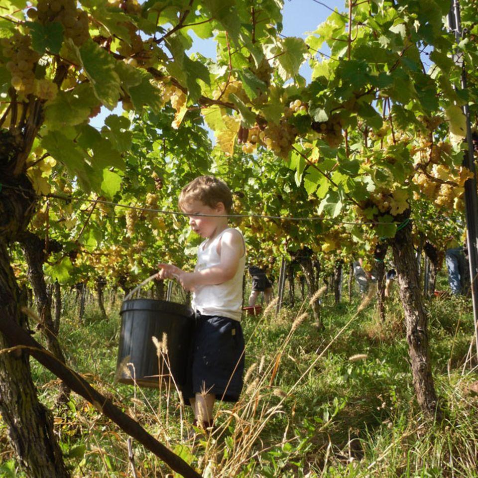 Alle helfen mit: Weinlese am Kastanienbusch