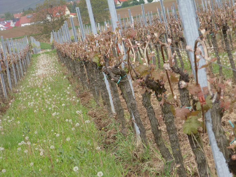 Ökologischer Pflanzenschutz: Braune Pheromon-Dispenser zwischen den austreibenden Reben