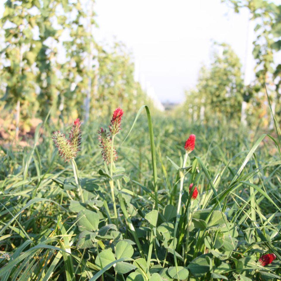 Der Sommer beginnt: Begrünte Gasse im Weinberg