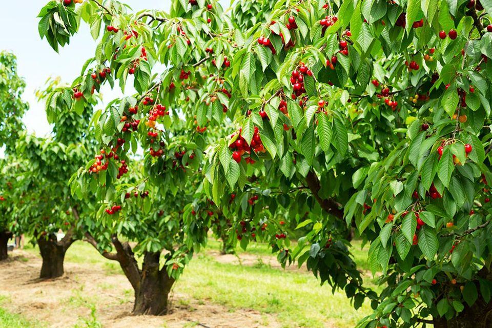 Pralle Kirschen hängen ab Juli in den Kirschbäumen – bereit zur Ernte