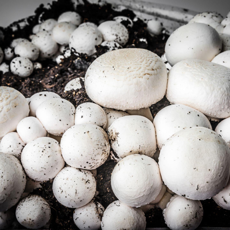 Kultivierte Champignons auf einer Pilz-Farm.