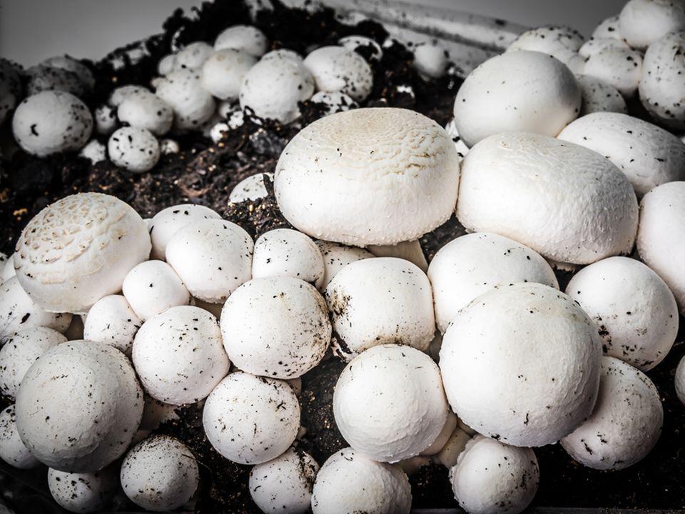 Gezüchtete Champignons bereit zur Ernte