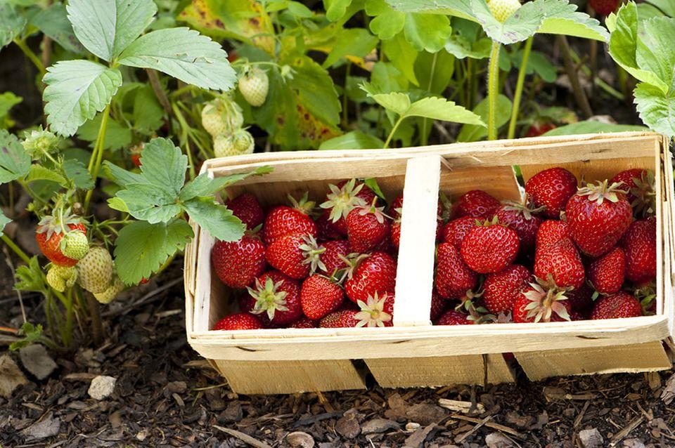 Erdbeerpflanzen auf dem Feld: Die Roten kommen frisch gepflückt ins Körbchen